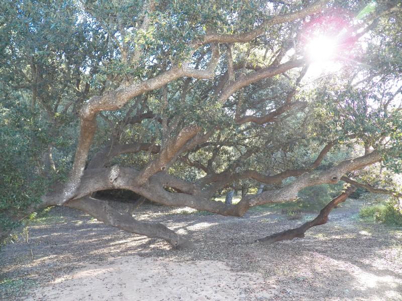 El vell arbre